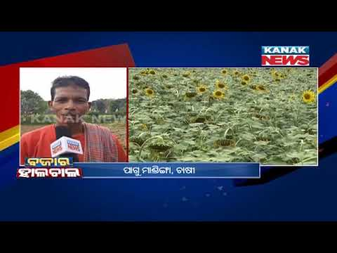 Koraput: Sunflower Farmers In Problems For Low-Quality Seeds